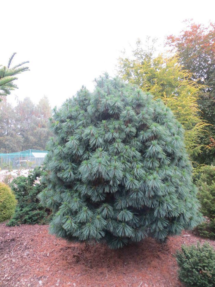 Pinus wallichiana 'Nana' - Conifer Kingdom