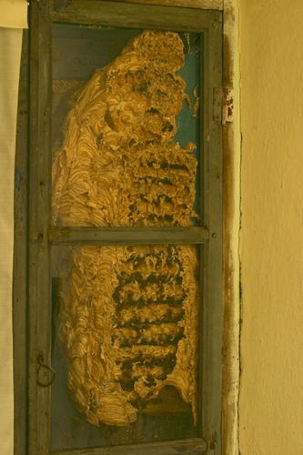 I like the window!  Evoluzione di un nido di Calabroni (Vespa crabro) Evolution of a nest Hornest (European hornet)