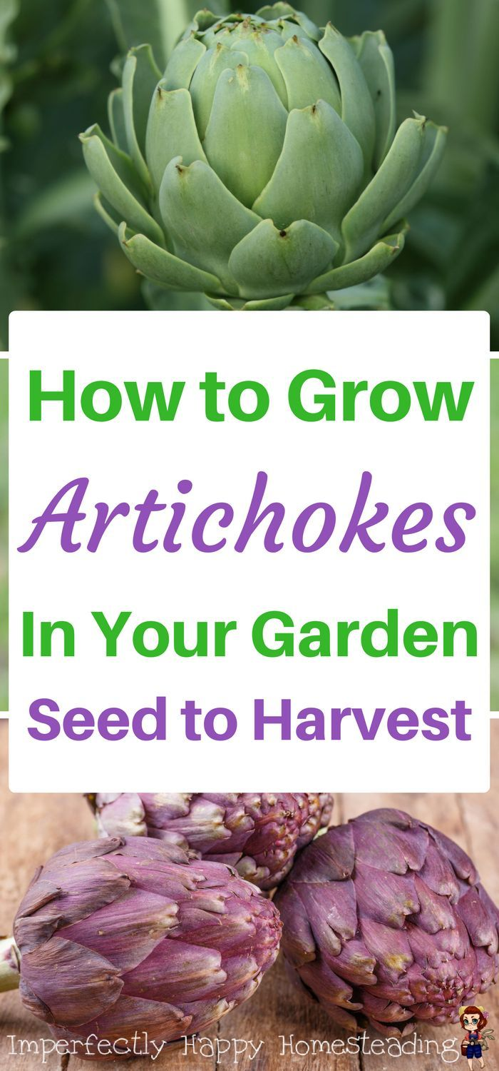 How to grow artichokes in your garden - seed to harvest.