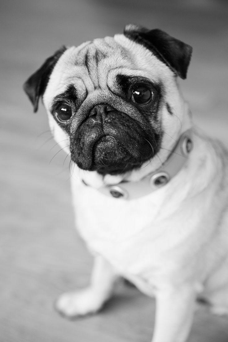 3618 best pugs images on pinterest doggies pug dogs
