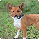 Washington, DC - Corgi. Meet PUPPY DARREN, a for adoption. http://www.adoptapet.com/pet/18204983-washington-dc-corgi-mix