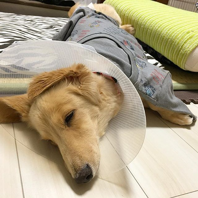 昨晩のバニ君🐶 お風呂から上がると、、、お姉ちゃん👱♀️のTシャツを布団代わりにすやすやすや、、、🐶💤 今日は病院の日です😊 いってらっしゃい🏥 . #ミニチュアダックスフンド#ダックスフンド#短足部#ミニチュアダックス#バニラ#クリーム#親バカ#犬#いぬ#dog#男の子#愛犬#vanilla#京都#kyoto#japann#田舎のわんこ#病気と闘ってるわんこ#病気に負けない#わんこ#肝臓ガン#闘病中#インターフェロン#注射#投薬#お薬#💉#頑張ってるよ#🐶#💓