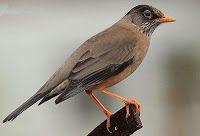 Las  Aves  que Viven  en  Chile: El Zorzal o Huilque en Chile y Argentina