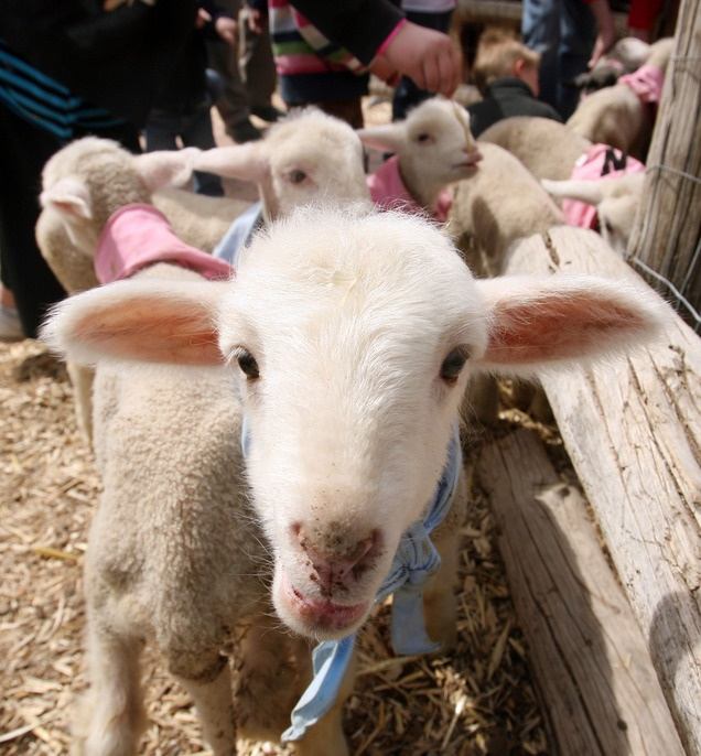 A lamb at the baby animal barn at This Is the Place Heritage Park in Salt Lake City.
