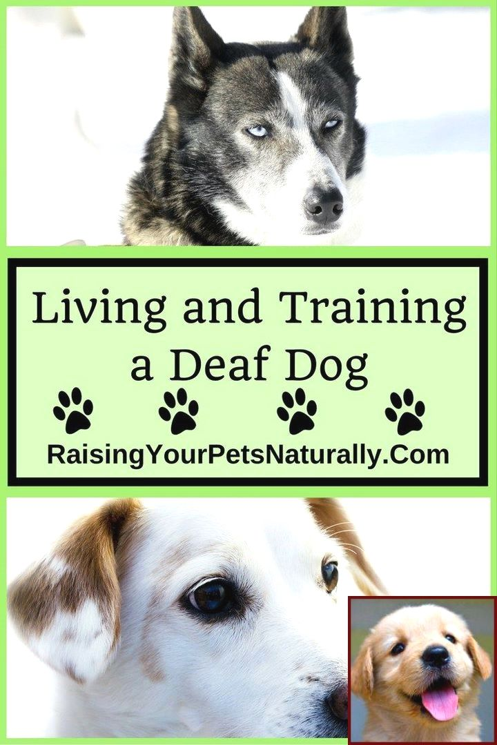 House Training A Puppy To Ring A Bell And Clicker Training Dogs To Come Deaf Dog Deaf Dog Training Dog Training