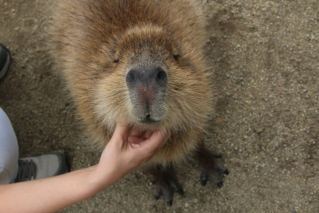 308 best Capybara images on Pinterest