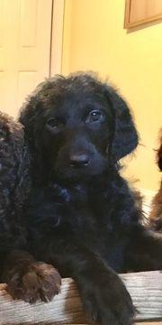 Litter of 3 Labradoodle puppies for sale in NEW HAVEN, CT. ADN-51482 on PuppyFinder.com Gender: Female. Age: 7 Weeks Old