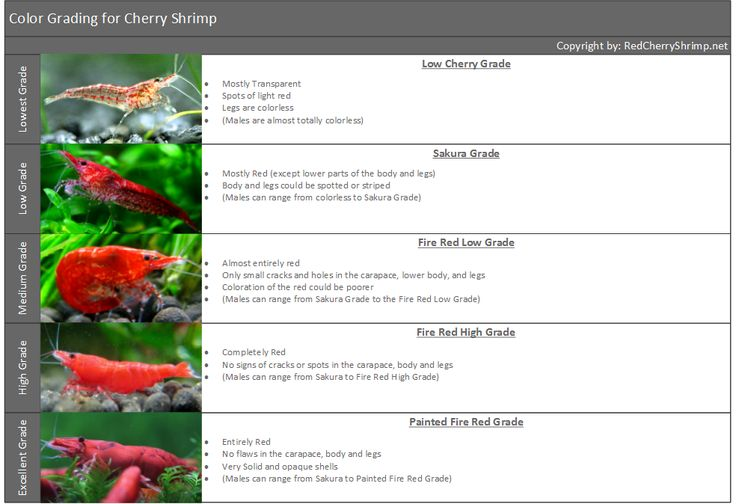 Cherry Shrimp Grading for Freshwater Shrimp in Aquariums - Red Cherry Shrimp