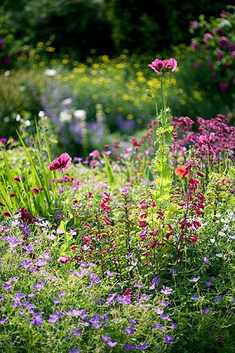 wine and red border - geranium spinners, penstemon garnet, astrantia claret, papaver somniferum