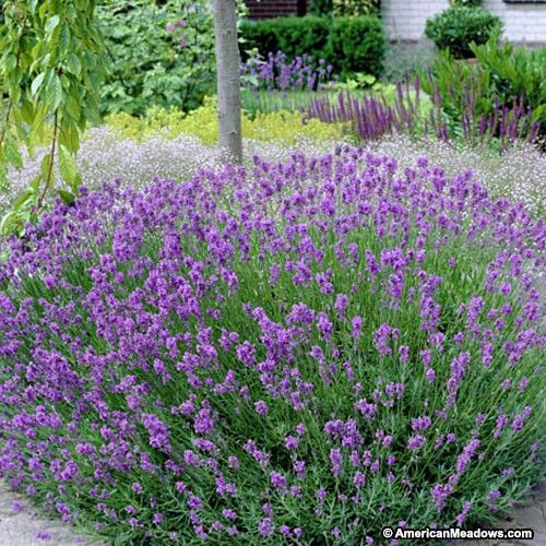 This lavender variety is one of the hardiest and is extremely easy to grow, withstanding high heat and humidity. The gorgeous, purple blooms are very fragrant and attract butterflies to the garden. (Lavandula x intermedia) PPAF