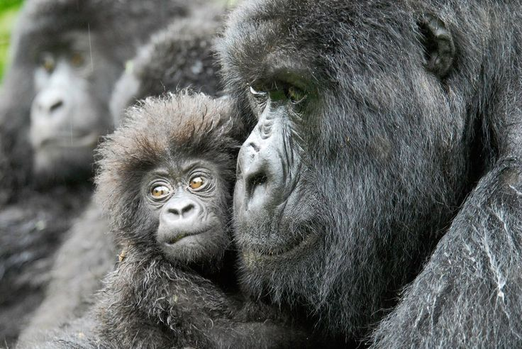 A female gorilla and her four-month-old baby in the Democratic Republic of Congo. Over half of world's wild primate species face extinction, scientists have warned. Photograph: Russell A...