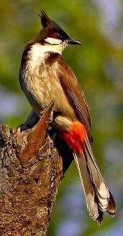 Red-whiskered Bulbul | BIRDS in BACKYARDS