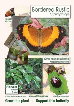 Bordered Rustic butterfly lifecycle