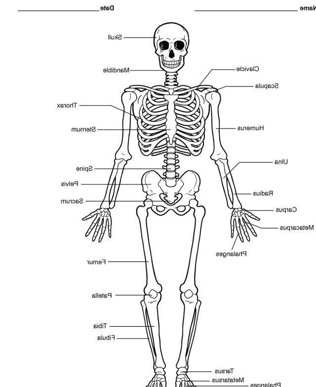 Human Skeleton Labeled Diagram Koibana Info Human Skeleton Model Human Skeleton Labeled Human Skeleton