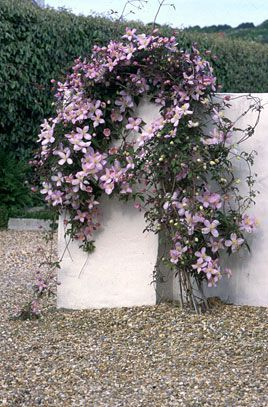 Clematis Montana. You already have this, climbing into your back corner. Will flower in may get large!