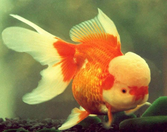 Image gallery exotic goldfish for Golden fish pipe