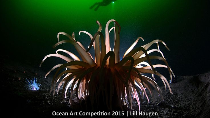 1st place, cold water category, 'Anemone Light' #Piclectica