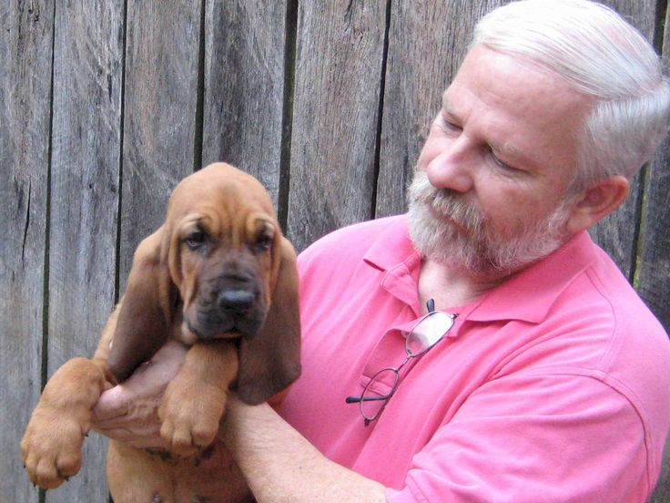 Bloodhound Dog Puppies For Sale