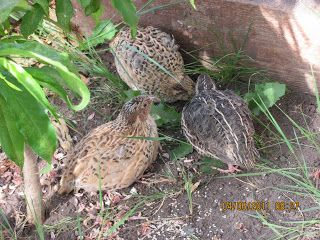 Having quails in the greenhouse to take care of pests.