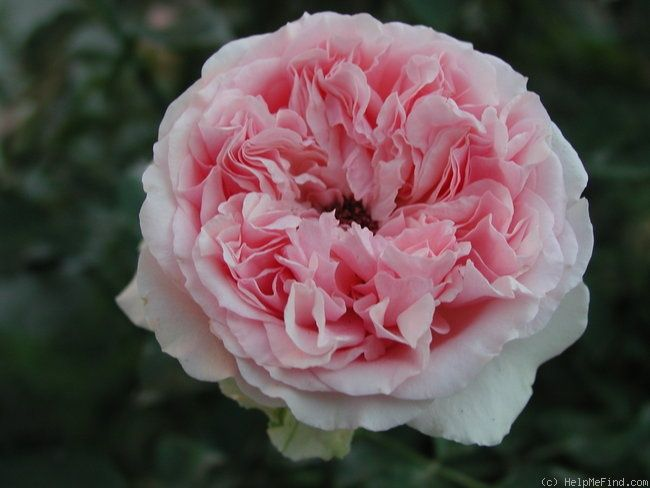 "'English Sachet ' Rose Photo, long stems up to 18"" , mature bush 5' tall, 3/12 wide."