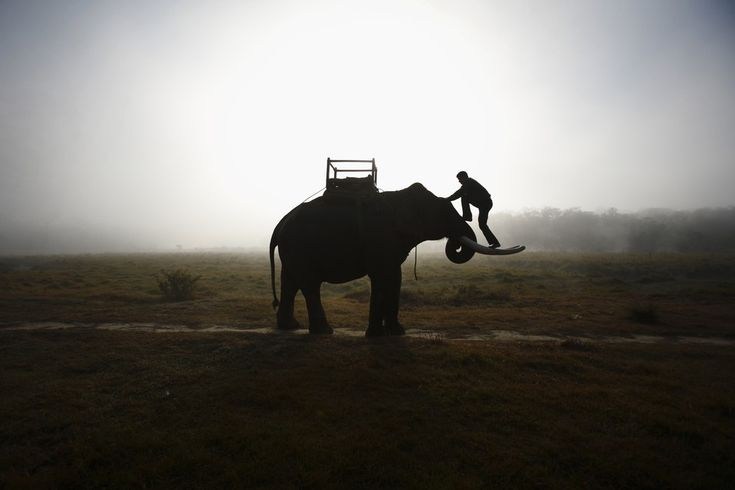FROM TUSK TO DAWN A mahout climbed onto his elephant as they walked toward the Chitwan National Park in Nepal Friday. (Photo: Navesh Chitrakar / Reuters via The Wall Street Journal)