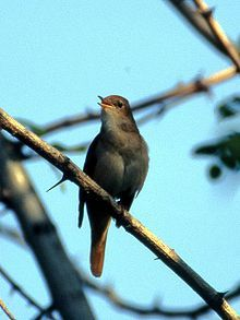 Common nightingale - Wikipedia