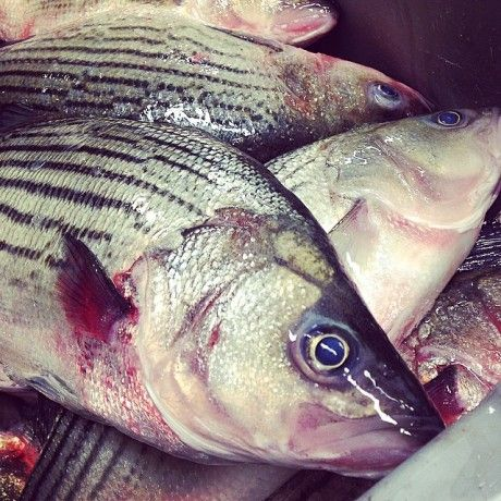 Local Seafood Hybrid Striped Bass NC
