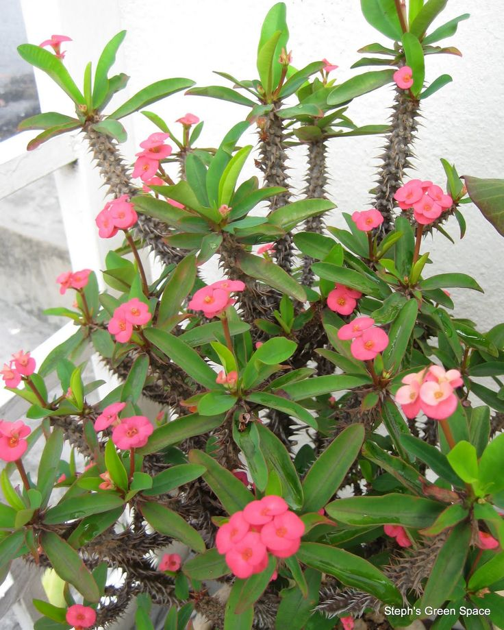 euphorbia milii, another plant for our garden Common name