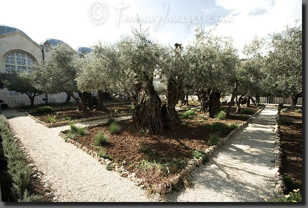 10 best images from the west images on pinterest ghost for Age olive trees garden gethsemane