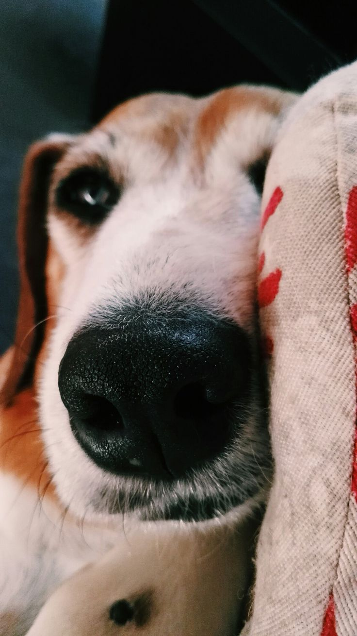 Dea, dog, puppy, beagle, love, beautiful, nose