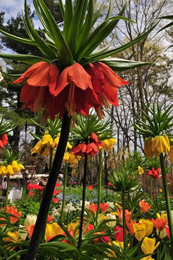 Fritillaria. Those flowers are amazing.: Awesome Flower, Rice Garden, Garden Lilies, Gardens, Gardening, Beautiful Flowers, Flowers Garden