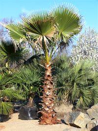 Mexican Fan Palm Tree   Washingtonia robusta