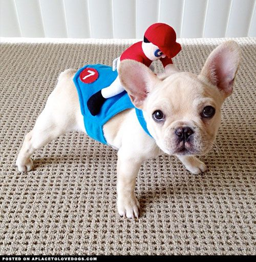 Cute Frenchie puppy Milo is ready to win the race. Place your bet on lucky #7!
