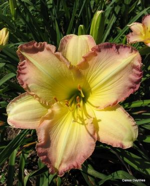 200 Best Daylilies Images On Pinterest Flowers