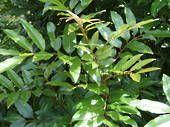 Alectryon excelsus - Titoki tree, H:4-8m