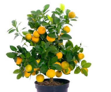 nice list of miniature fruit trees including peaches, nectarines and apples