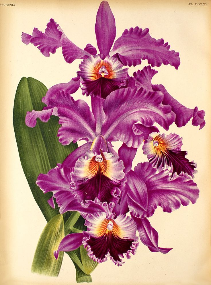 For readers of In Search of Lost Time: Cattleya Labiata. The orchid favored by Odette de Crecy.
