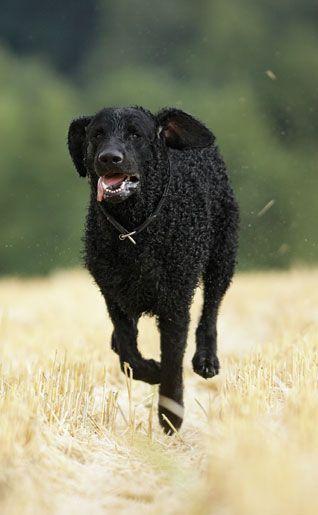 Curly Coated Retriever Pup ~ Classic Look & Trim