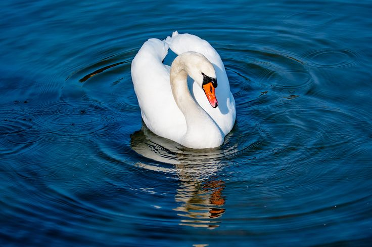 Mute Swan by Graziella Serra Art & Photo on 500px