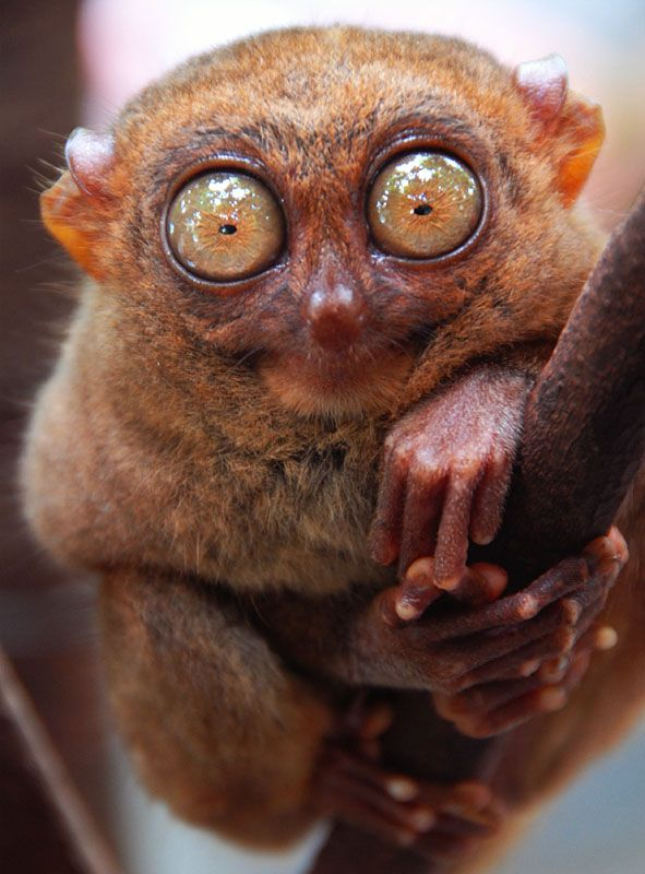 El ojo del tarsero es 150 veces más grande que el de los humanos en relación al tamaño de su cuerpo
