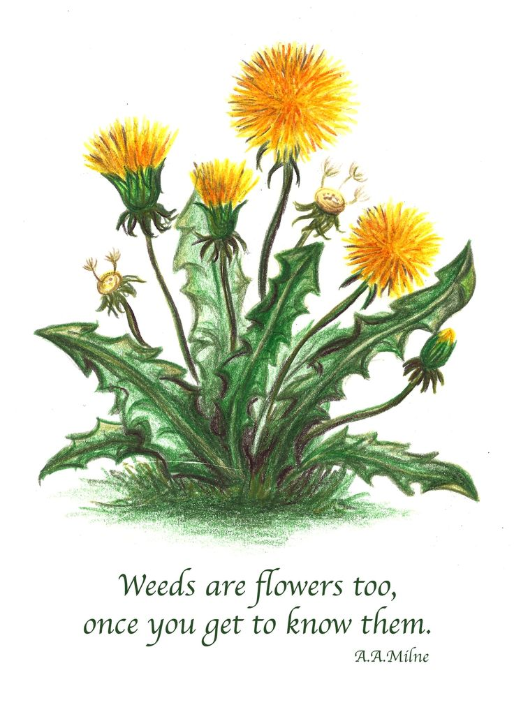 """""""Weeds are flowers too"""". Coloured Pencil on Art Paper. Available as an original, prints or greeting cards."""