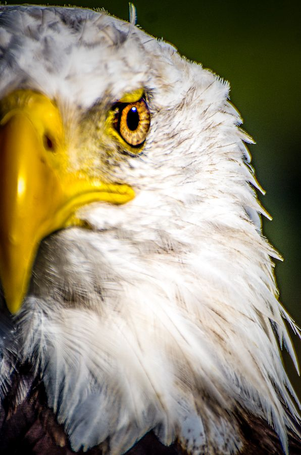 57 best Eagle pictures to paint images on Pinterest | Beautiful ...