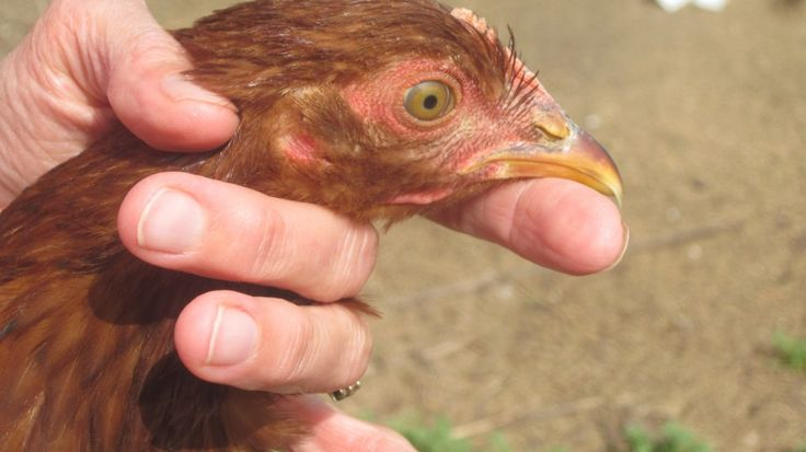 Which of your hens is laying eggs and which ones are not?