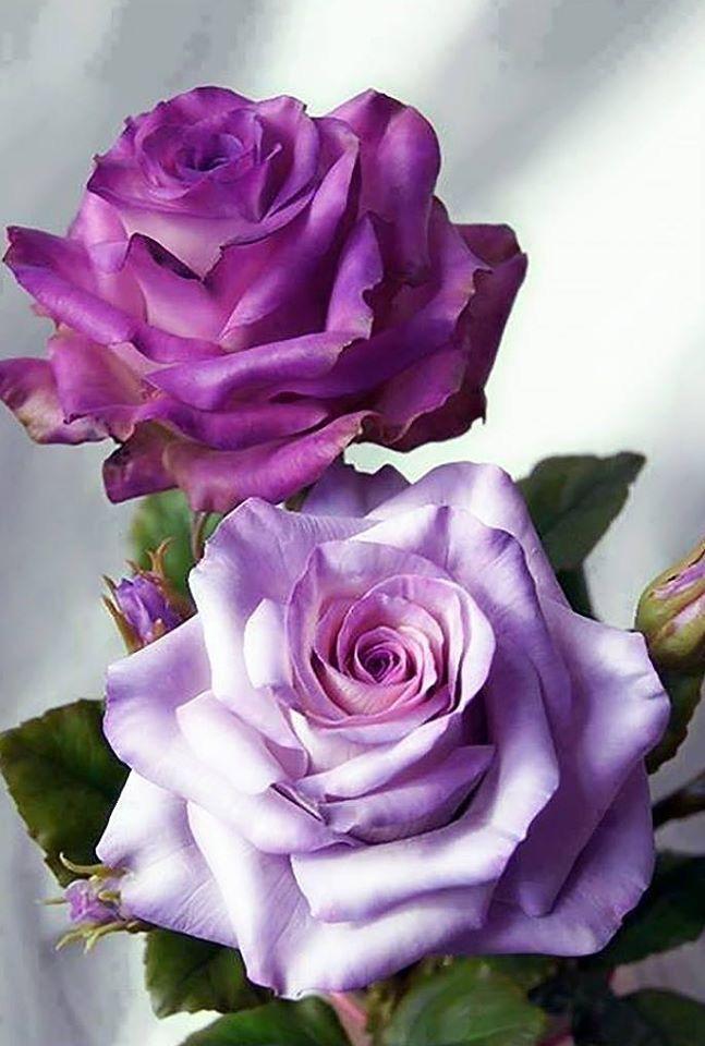 Purple + lavender roses