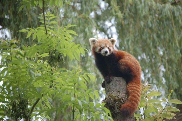 Vendredi 23 Août 2013 au Zoo d'Amiens, c'est le grand départ pour Gaïa le panda roux !