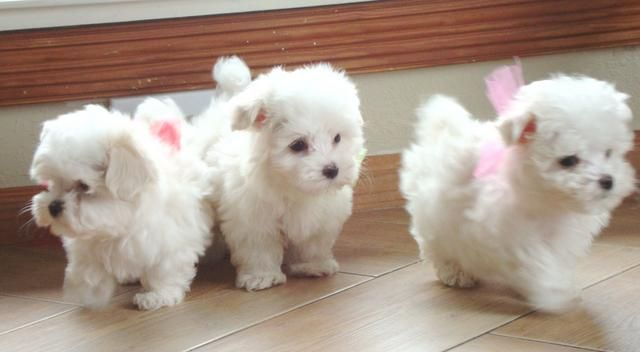 My beautiful Tiny maltese puppies that I have so much fun raising! www.texasteacuppuppy.com