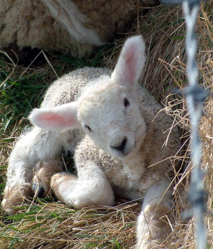 Cute Easter lamb