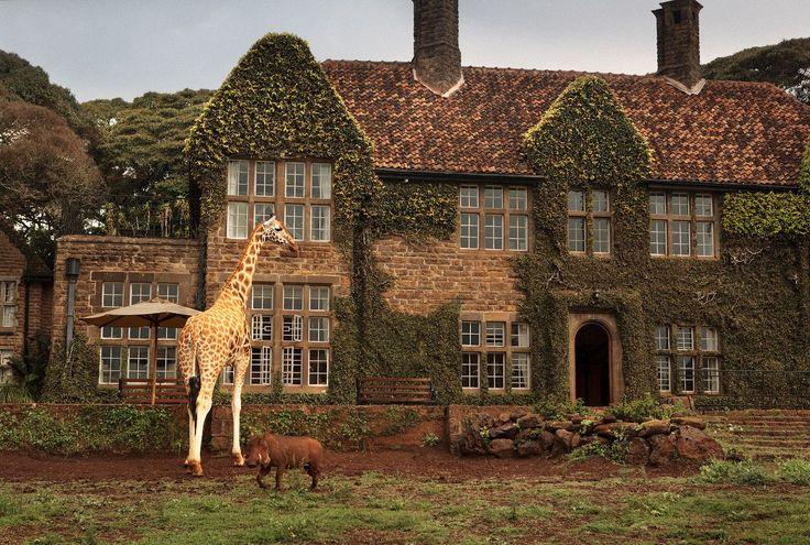 Enjoy Breakfast or Lunch With the Giraffes in Kenya it
