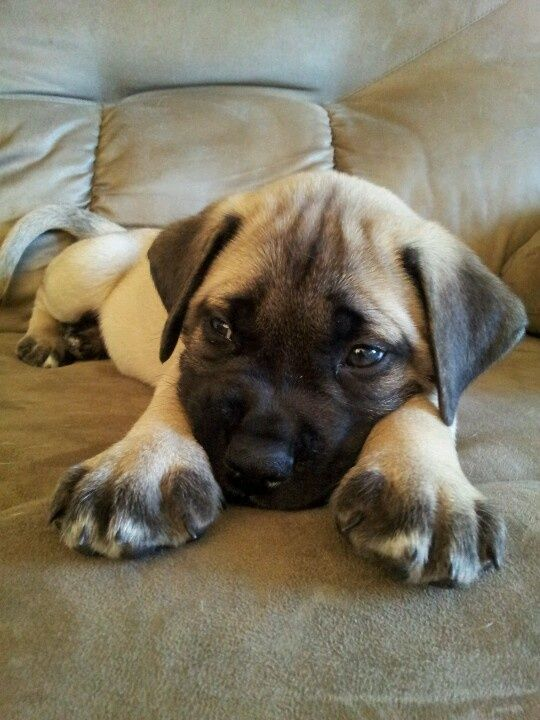 What is the average life span for an English Mastiff?