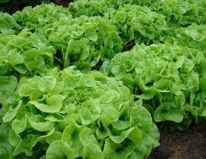 Jenis Sayuran Hidroponik Green-Oakleaf